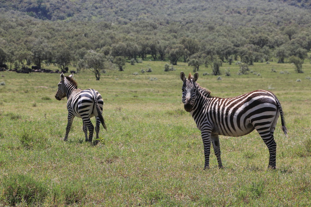 Hell's Gate zebra
