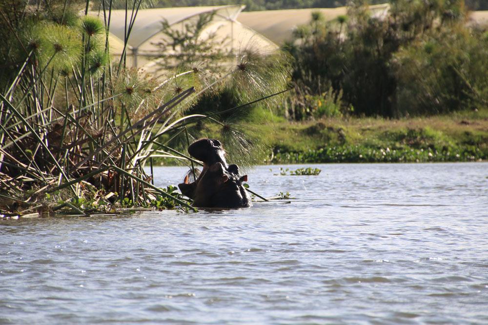 lake navaisha nijlpaard