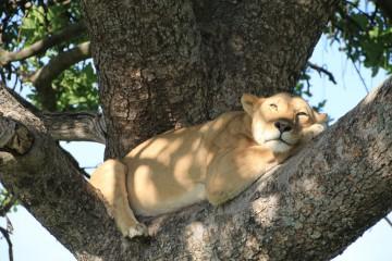 masai mara leeuw