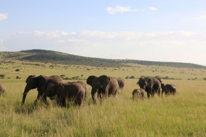 masai-mara-olifant